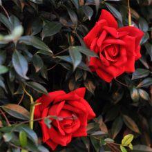 Rosa Rossa larghezza  fiore 14 cm